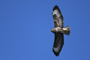 Buzzards have spread west across the National Park in the last decade. Pic credit: Tim Squire