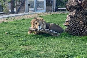 Syas the lion is one of many residents at Wolds Wildlife Park.