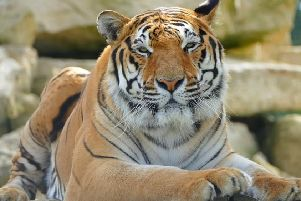 One of the big cat residents.