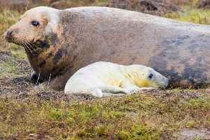 Seal and pup pictured at Donna Nook at the end of 2019. (Photo: Mark Suffield).