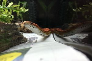 William Wallace the cornsnake