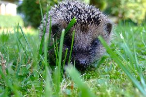 Hedgehogs shouldn't be out in the sun, so if you see one out during the day it's likely to be in need of urgent help.