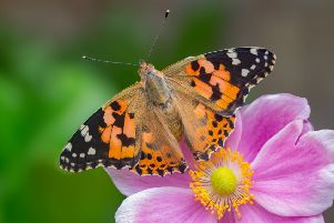 The Painted Lady was the most commonly spotted butterfly this summer. (Photo: Andrew Cooper)