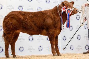 Last years overall champion in the exhibition calves, Limousin cross British Blue heifer Ill Be There
