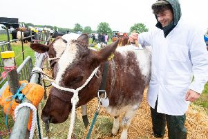 Thomas Cockerill prepares a beef shorthorn for the show. Photo submitted.