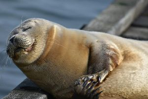 People have taken to the loveable seal. Picture: Emily Jackson