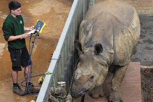 Behan the Greater one-horned rhino gets weighed. Photo by Tony Margiocchi