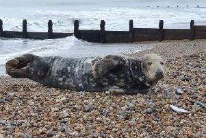 The seal on Felpham Beach. Photo taken by David Samuels