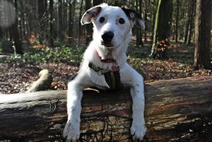 Meg - a collie cross - one of the dogs at Dogs Trust Ballymena rehoming centre
