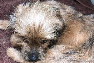 Dogs can really suffer with heat-related conditions when the weather gets warmer. Just a few weeks ago, a terrier puppy was found collapsed in Talbot Green, Wales, suffering from possible heat stroke. A member of the public found the four-month-old pup (pictured) on Easter Monday (22 April) when temperatures soared to the mid-20s. The little dog - nicknamed Ollie - was rushed to a vet and put on a drip and thankfully recovered