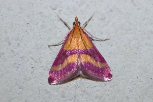 Scarce Crimson and Gold (Pyrausta sanguinalis). Picture: K�rp�ti Marcell, Buttterfly Conservation. EMN-180613-151142001