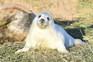 Seal pups at Donna Nook. All photographs taken by David Dawson.