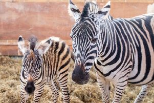 The latest arrival at Wolds Wildlife Park. Picture: John Aron.
