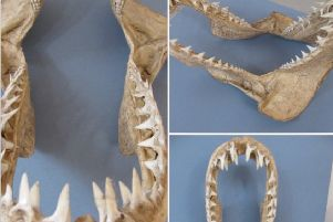 Shark Jaws SUS-190516-065104001