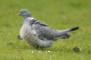 A pigeon. Picture: Shutterstock.