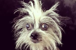 Morticia, the hairless Chinese crested dog 'Photo: @littleseniormoments