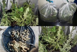 Cannabis plants seized by the PSNI in Maghera area.