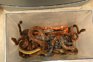 Undated handout photo issued by the RSPCA of 9 snakes that were dumped outside a veterinary clinic in Frome, Somerset. PRESS ASSOCIATION Photo. Issue date: Sunday August 18, 2019