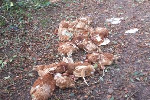 Chickens found at dead at the site.