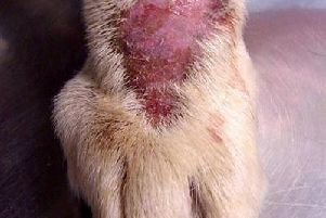 Alabama Rot - image posted on Jubilee Veterinary Centre Facebook page