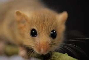 Dormice near the M1 is affecting how the roadworks will be carried out in the New year