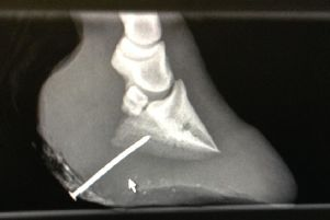 An x-ray showing the nail in the pony's overgrown hoof. Picture: RSPCA
