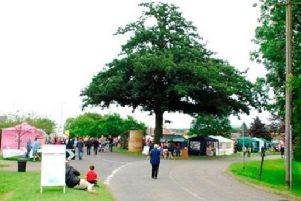 The iconic turkey oak tree on The Green, at Old Dalby, which is set to be removed because of dangers posed by its advanced decay EMN-190614-131521001