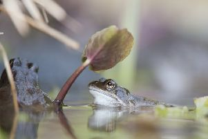 Common frog (Rana temporaria) in garden pond in spring.Pic credit: Mark Hamblin2020VISION