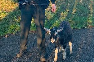 Police and the public secured the goats