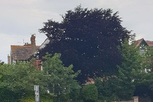 The purple beech tree in Upper Avenue, Eastbourne