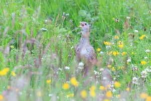 A calling corncrake captured on camera this summer by wildlife photographer Ronald Surgenor