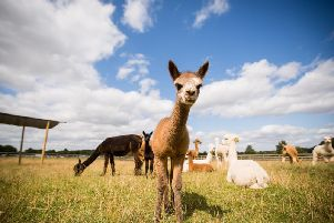 Tasha the baby alpaca