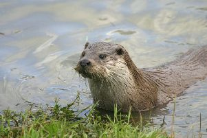 An otter was shot dead in Irthlingborough (picture by Darin Smith)