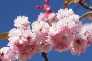 DM17420128a.jpg. Cherry Blossom. Photo by Derek Martin SUS-170418-181615008