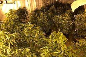 Inside the cannabis factory