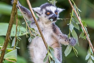 Playful primate...one of the stars of Land of Lemurs at Woburn Safari Park