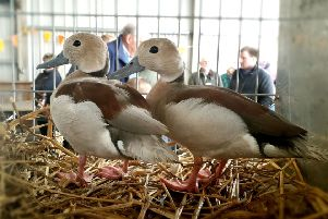 A pair of teal in the Miniature Waterfowl category at the annual Spitalfields Spring Native and Rare Breed Sale and Graded Poultry Rare Breed Sale EMN-190416-153436001