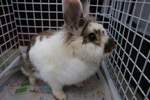 One of the rabbits found outside Buncrana.