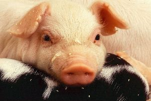 Pigs have been causing disruption on the A27 this afternoon SUS-191210-130757001