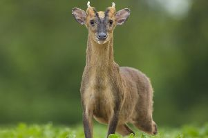 Muntjac deer appear to be breeding in Northern Ireland