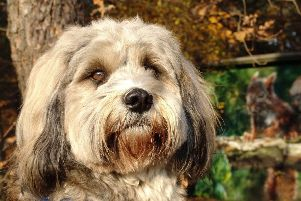 A Tibetan terrier - one of this long-haired breed was trapped in a hot car in Storrington SUS-190716-153006001
