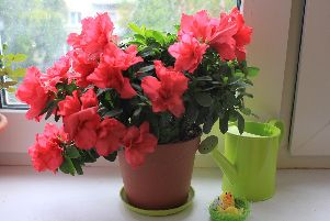 You CAN have an azalea which looks like this.