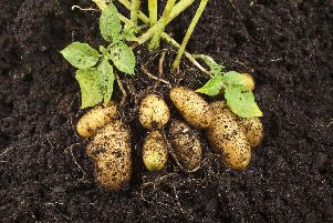 Brian says it's easy to grow some early potatoes.