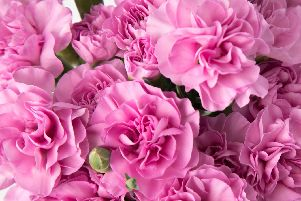 Carnations in bloom. Picture: Shutterstock