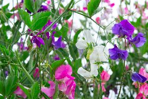 Delicate, beautiful and fragrant sweet peas.