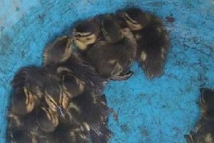 The ducklings after being rescued from the tank. Picture: Portsmouth Water