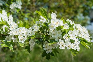 Frost guide: once hawthorn blossom has died off, there won't be another.