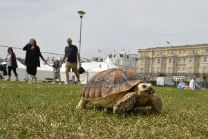 Bernard a young African Sulcata Tortoise  enjoys a stroll in the sunshine on the Western Lawns on Eastbourne seafront (Photo by Jon Rigby)