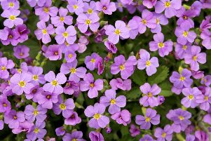 Aubretia: now's the time to take cuttings. Picture Shutterstock