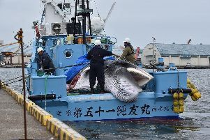 A minke whale is unloaded from a whaling ship at a port in Kushiro